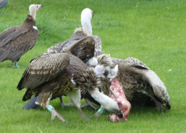 Vultures eating a sheep's head
