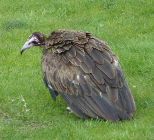 young hooded vulture