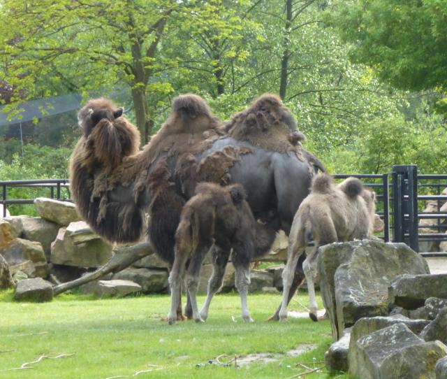 camel with calves
