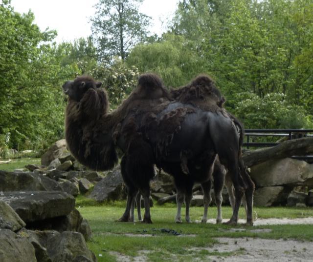 camel calves nursing