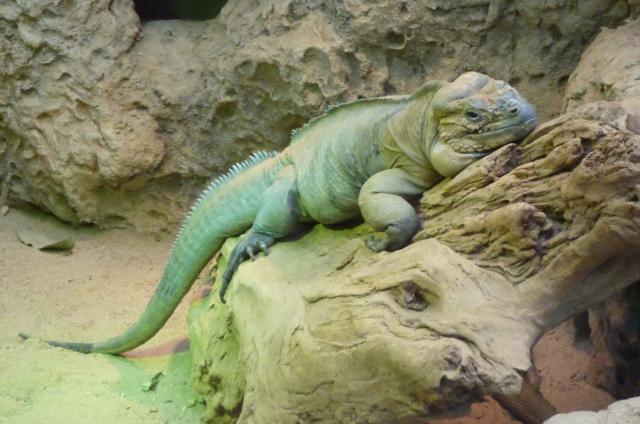 large green lizard in Blijdorp